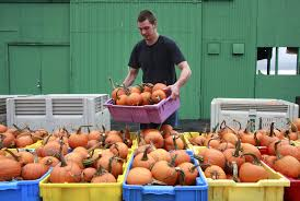 halloween usa saginaw mi buy michigan pumpkins early growers advise because they may be