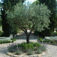 olive tree olea europea not available now johnstown garden