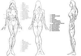 Female Anatomy Figure Image Result For Female Anatomy Drawing Anatomy Reference