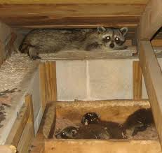 How To Get Rid Of Raccoons In Backyard Raccoon In Wall Damage Health Concerns U0026 Removal