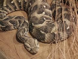 other than politicians these are the snakes you may find in sa u0027s