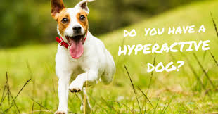 hyperactive dogs do you have a hyperactive dog thedogtrainingsecret com