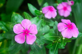 vinca flower the beauty pink vinca flower stock photo colourbox