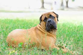 Do English Bullmastiffs Shed by List Of Guard Dogs