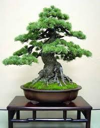mer enn 25 bra ideer om bonsai pflanzen på pinterest bonsai