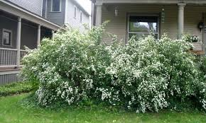 Small Shrubs For Front Yard - identification what is this shrub in colorado with white flowers