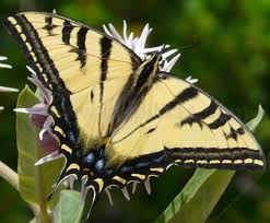 tiger swallowtail butterfly papilio rutulus on plants with