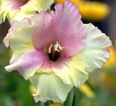 gladiolus flowers gladiolus flower bulbs