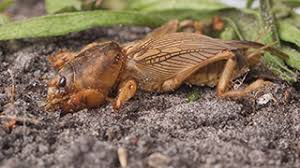 How To Get Rid Of Moles In The Backyard by How To Kill Control U0026 Prevent Crickets Pests In The Home Ortho