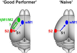 target specific membrane potential dynamics of neocortical