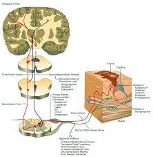 Pain Reflex Pathway Explaining Pain The Neuroscience Of Pain Free Training Z Health