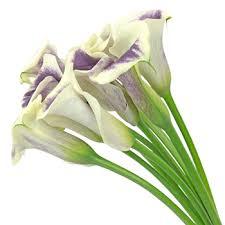 purple lillies purple mini calla