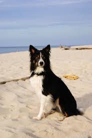 australian shepherd 1 jahr kaufen border collie u2013 ein problemhund hundeerziehung planet hund