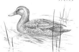 mallard ducks jpg
