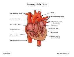 Heart Anatomy Arteries Heart Anatomy And Blood Flow Advanced