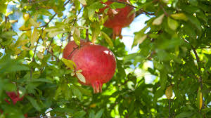 fruit tree garden layout grow a pomegranate tree organic gardening blog