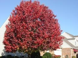 autumn colors conclude with callery pears what grows there