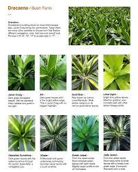 dracaenas capri farms a source of fine tropical foliage