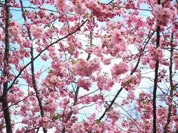 japanese blossom tree of the most beautiful cherry blossom photos of