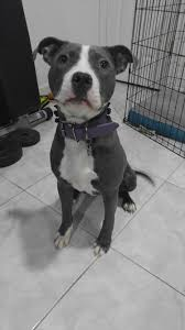 american pit bull terrier lab mix i never see this lovely breed on reddit this is my staffordshire