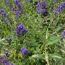 evergreen full sun arborvitae shrubs trees u0026 bushes the