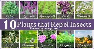 Plants That Repel Aphids by Top 10 Plants That Repel Unwanted Insects The Healthy Honeys