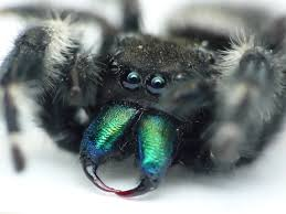 halloween jumping spider spiders by jane doe