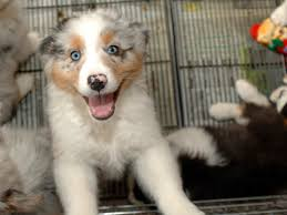 australian shepherd cost vacation extra adopt a dog cbs news