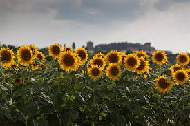 sunflowers for sale tuscany sunflowers italy by mathew lodge photography ugallery