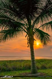 Pom Trees Best 25 Florida Palm Trees Ideas On Pinterest Tropical Holiday