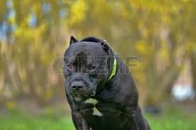 american pitbull terrier 9 months old 9 months old purebred images u0026 stock pictures royalty free 9