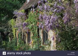 the malt house hampshire wisteria sinensis and climbing roses