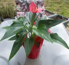 house plants no light flamingo flower anthurium tropical delight great indoor