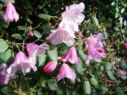 Pink Spring Flowering Shrubs - in the garden best flowering shrubs for spring