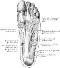 bone structure diagram human foot free coloring pages of ankle