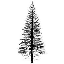 25 unique douglas fir ideas on douglas fir tree pine