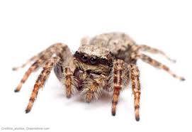 killer spiders prefer malaria mosquitoes