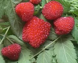 edible native plants edible culture native raspberry tea and fruit