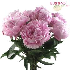 wholesale peonies pink peonies flowers