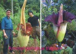 Largest Flower In The World Titan Arum Is One Of The Largest Flowers In The World It Is Also