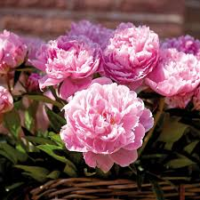 peony flowers peony flower bulbs garden plants flowers the home depot