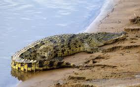 nile crocodile skull crocodylus niloticus skulls unlimited 1