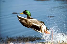 free picture mallard duck aboout fly