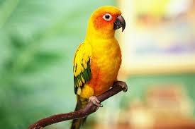 interesting facts about sun conures