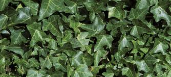english ivy what a creep forterra