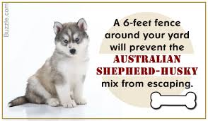 lifespan of australian shepherd amazing information about the australian shepherd husky mix breed