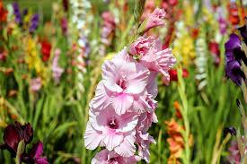 gladiolus flower free photo gladiolus flower blossom bloom free image on