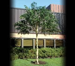 outdoor artificial ficus benjamina tree outdoor silk ficus trees