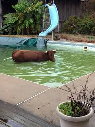 Backyard Pool Pictures Nc Man Finds 800 Pound Cow Swimming In Backyard Pool Charlotte