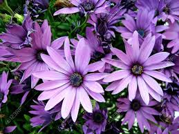 several purple african moon daisy u0027s stock photo picture and